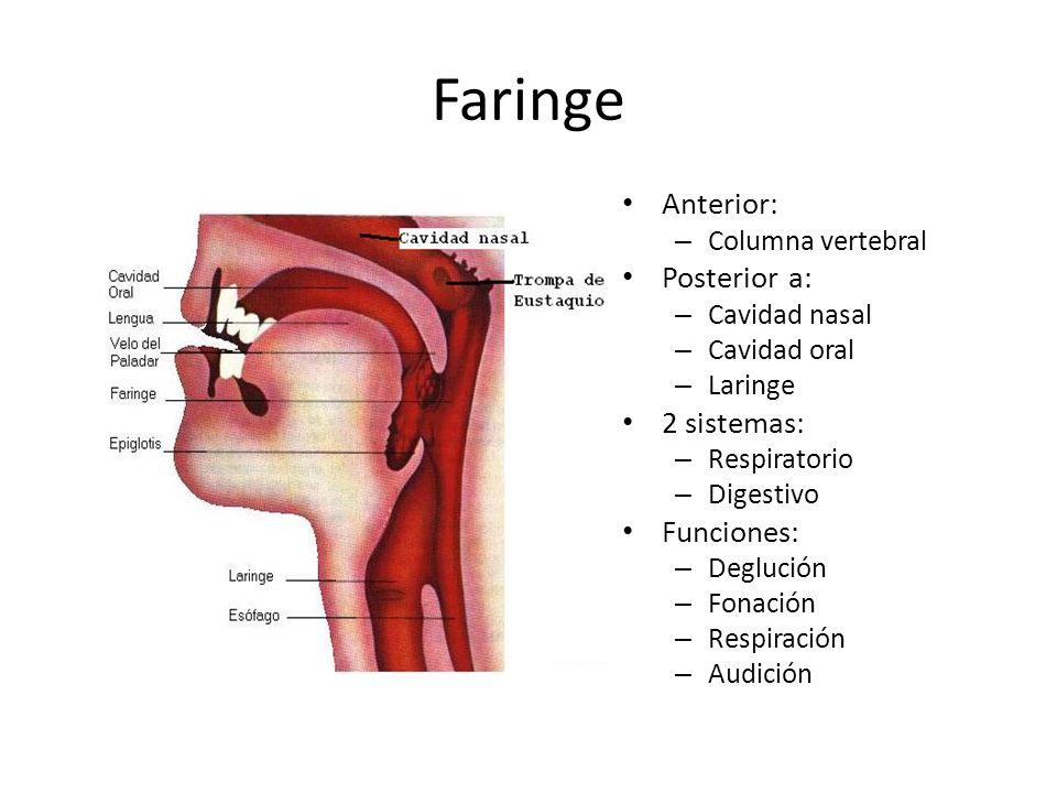 Faringe Anterior: Posterior a: 2 sistemas: Funciones:
