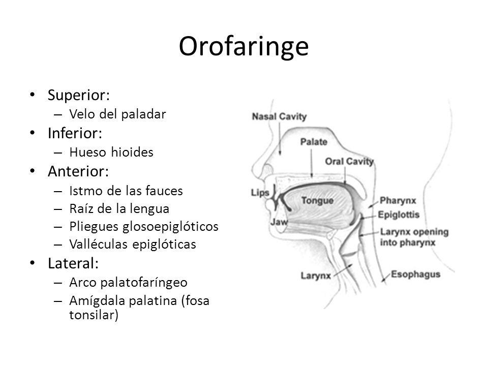 Orofaringe Superior: Inferior: Anterior: Lateral: Velo del paladar