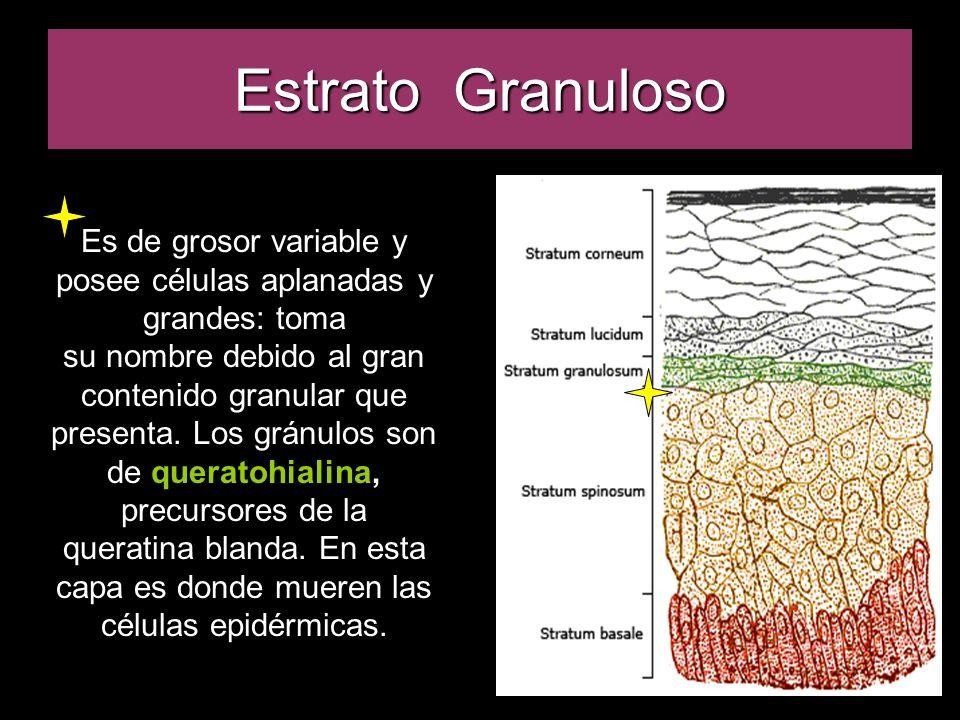 Estrato Granuloso Es de grosor variable y posee células aplanadas y grandes: toma.