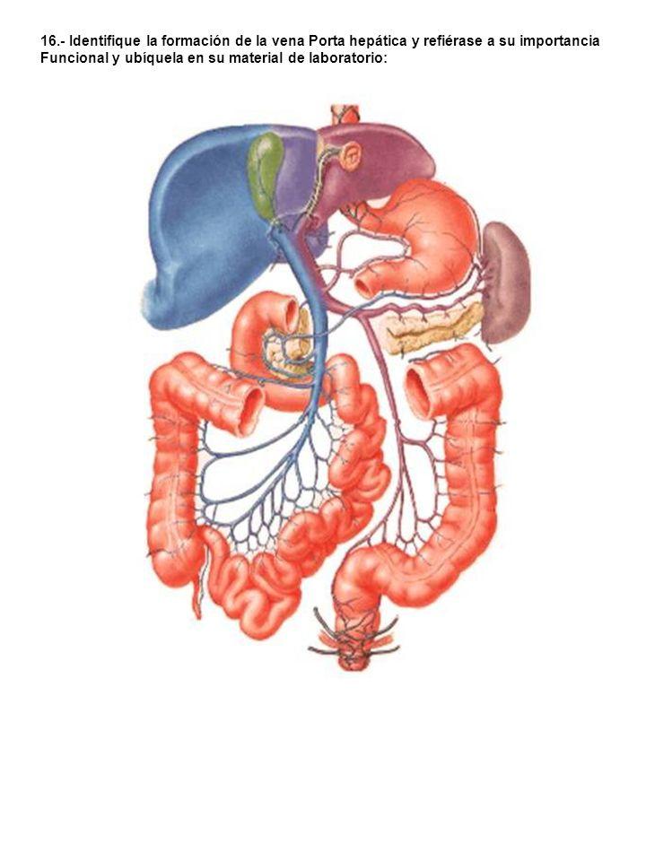 16.- Identifique la formación de la vena Porta hepática y refiérase a su importancia
