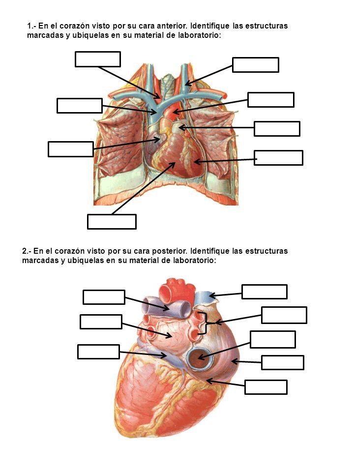 1. - En el corazón visto por su cara anterior