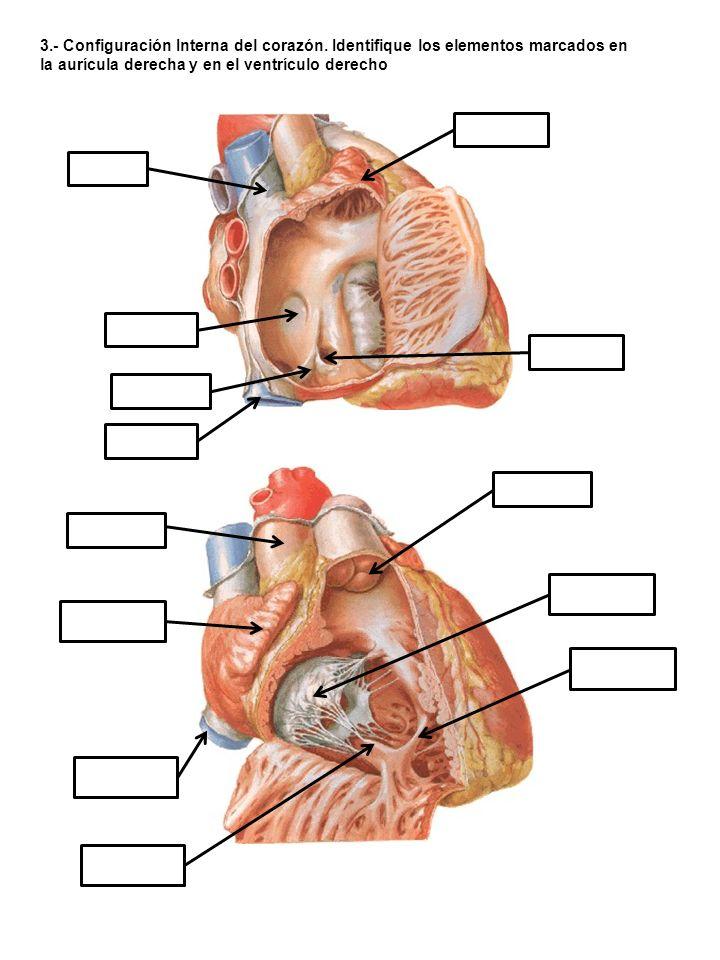 3. - Configuración Interna del corazón
