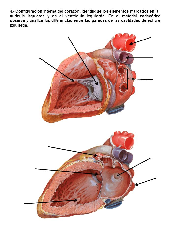 4. - Configuración Interna del corazón