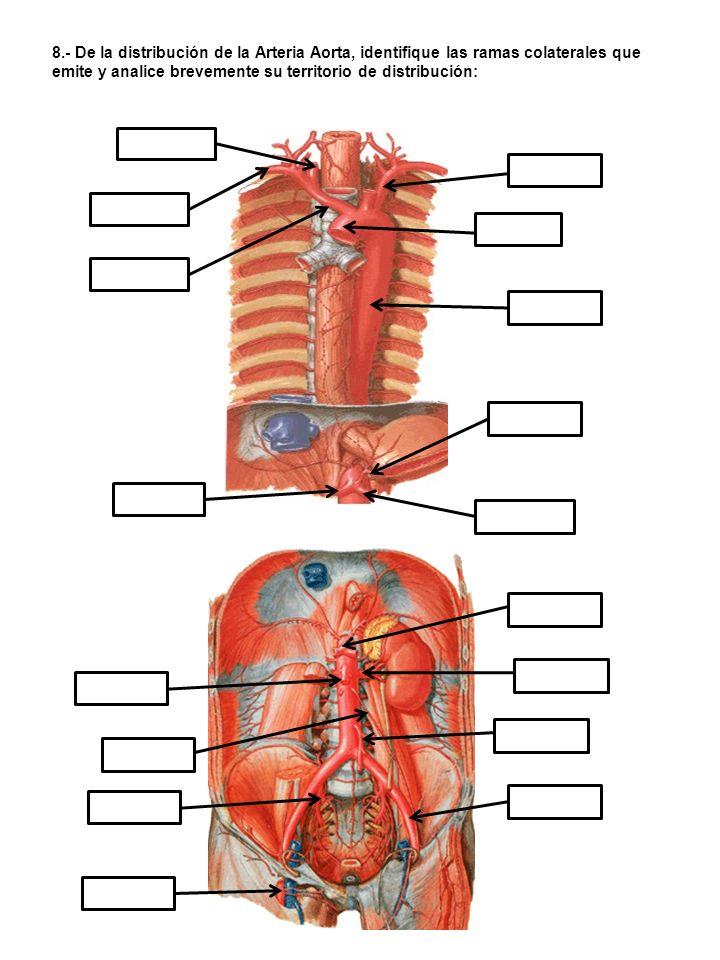 8.- De la distribución de la Arteria Aorta, identifique las ramas colaterales que emite y analice brevemente su territorio de distribución: