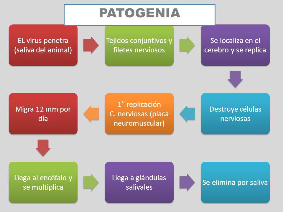 PATOGENIA EL virus penetra (saliva del animal)