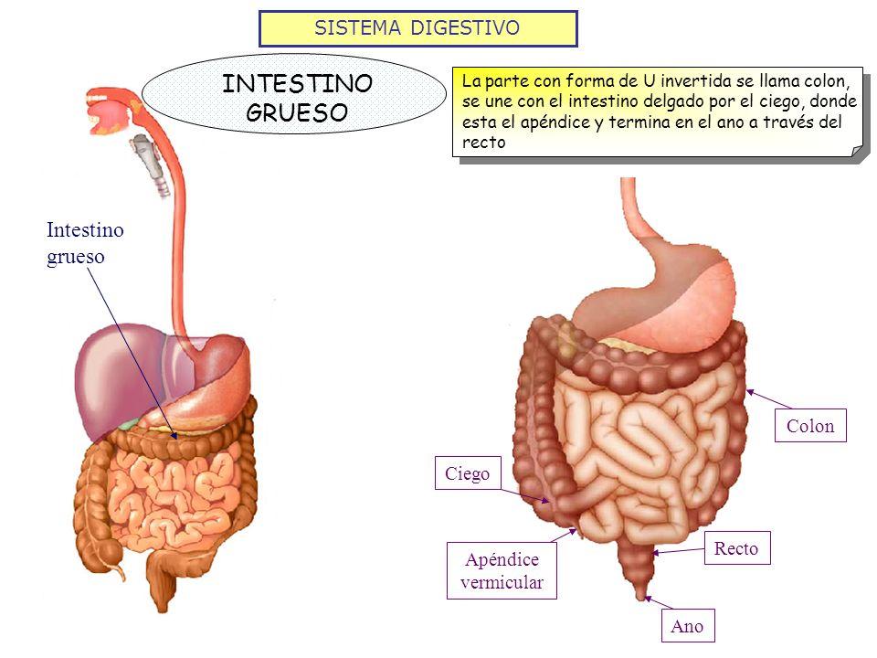 Único Dónde Está El Apéndice Adorno - Imágenes de Anatomía Humana ...