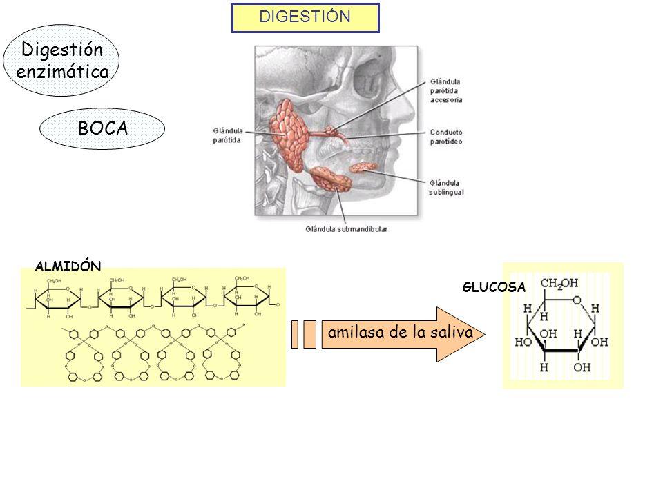 Digestión enzimática BOCA DIGESTIÓN amilasa de la saliva ALMIDÓN