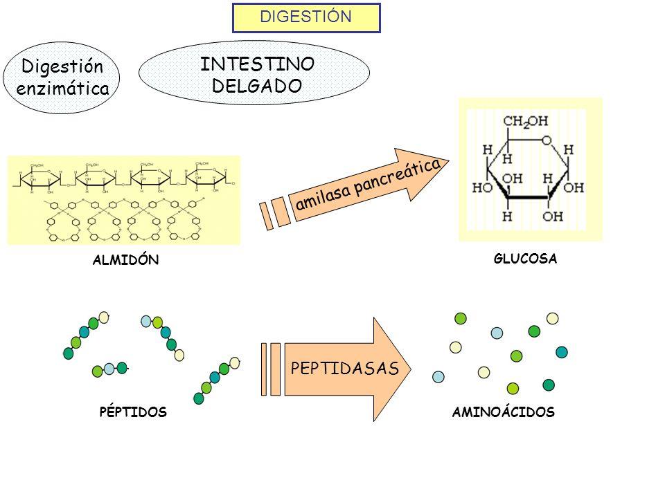 INTESTINO DELGADO Digestión enzimática DIGESTIÓN amilasa pancreática