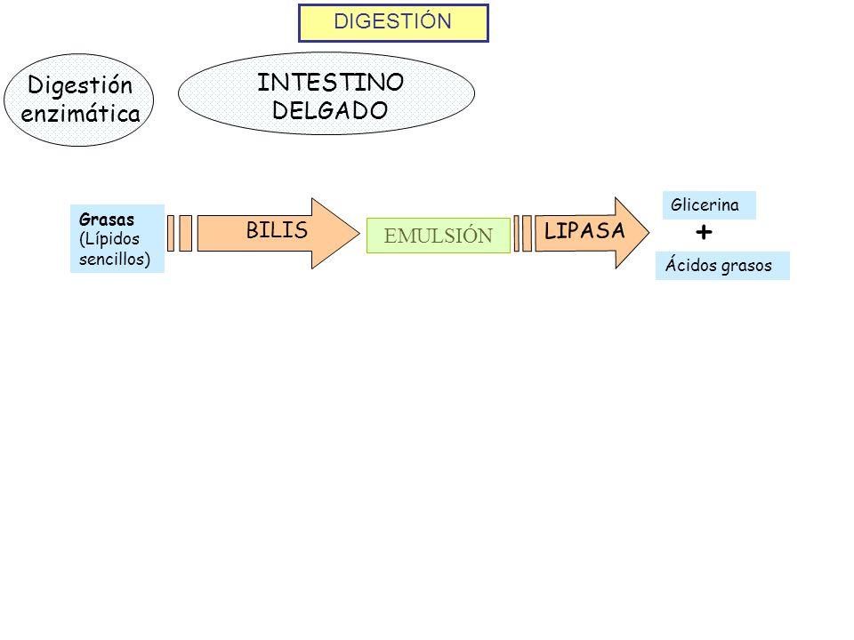 + INTESTINO DELGADO Digestión enzimática DIGESTIÓN LIPASA BILIS