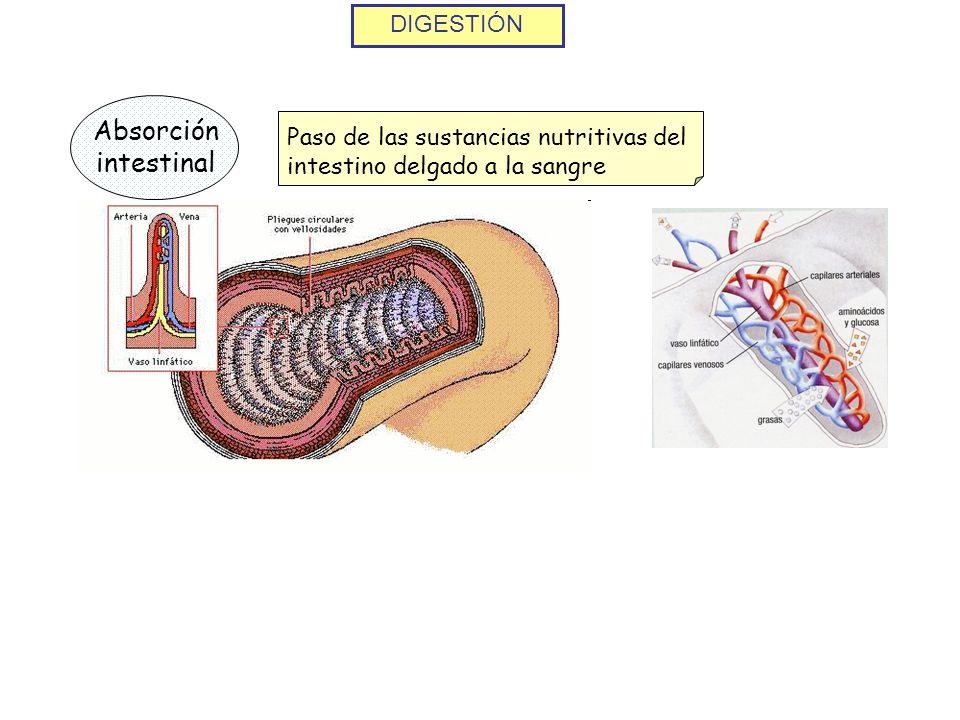 Absorción intestinal DIGESTIÓN
