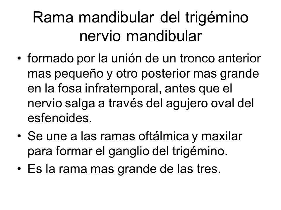 Rama mandibular del trigémino nervio mandibular