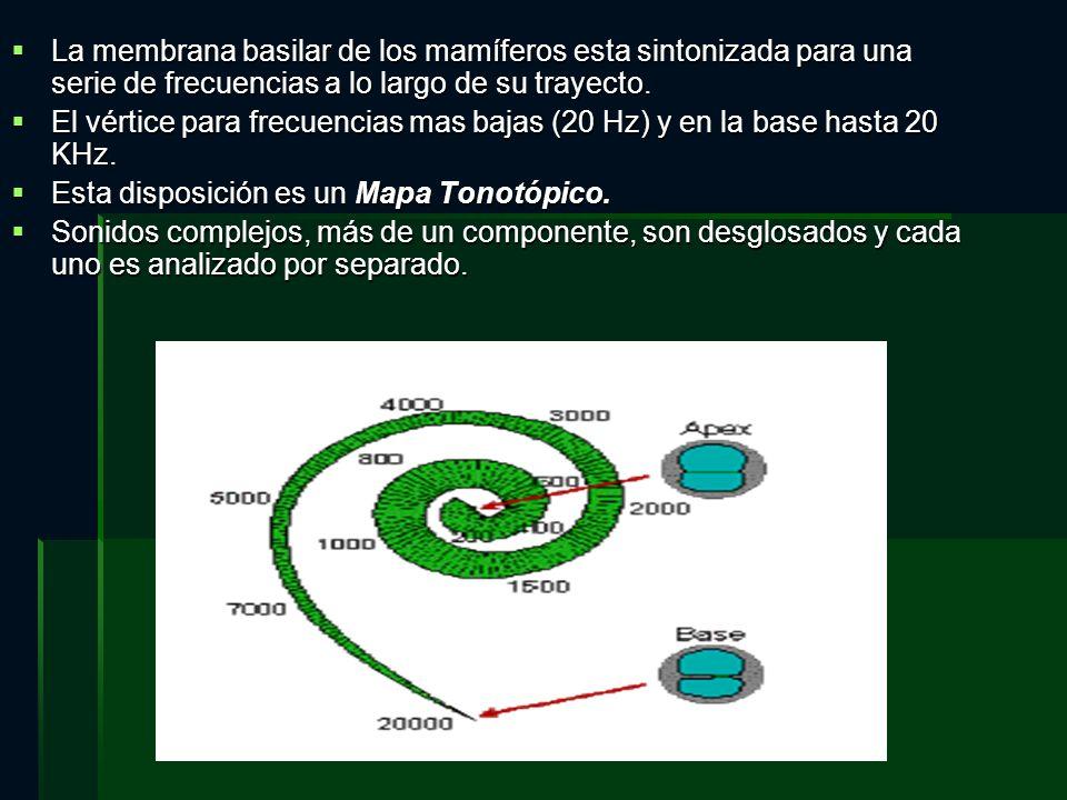 La membrana basilar de los mamíferos esta sintonizada para una serie de frecuencias a lo largo de su trayecto.