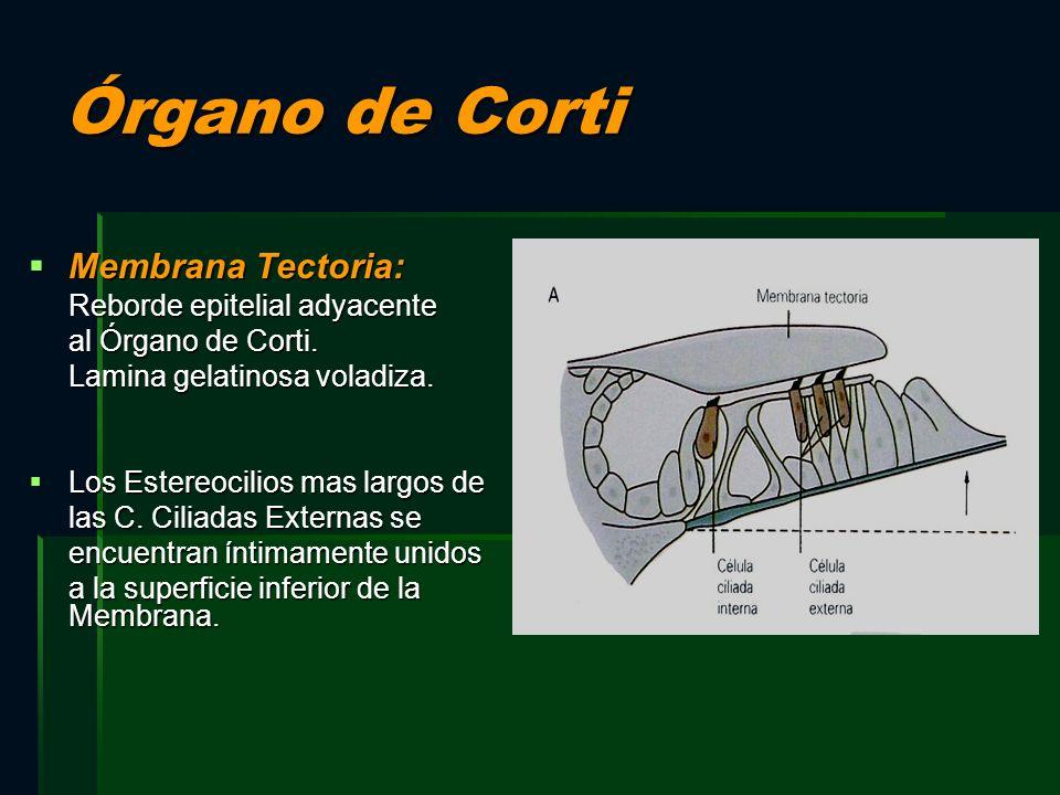 Órgano de Corti Membrana Tectoria: Reborde epitelial adyacente