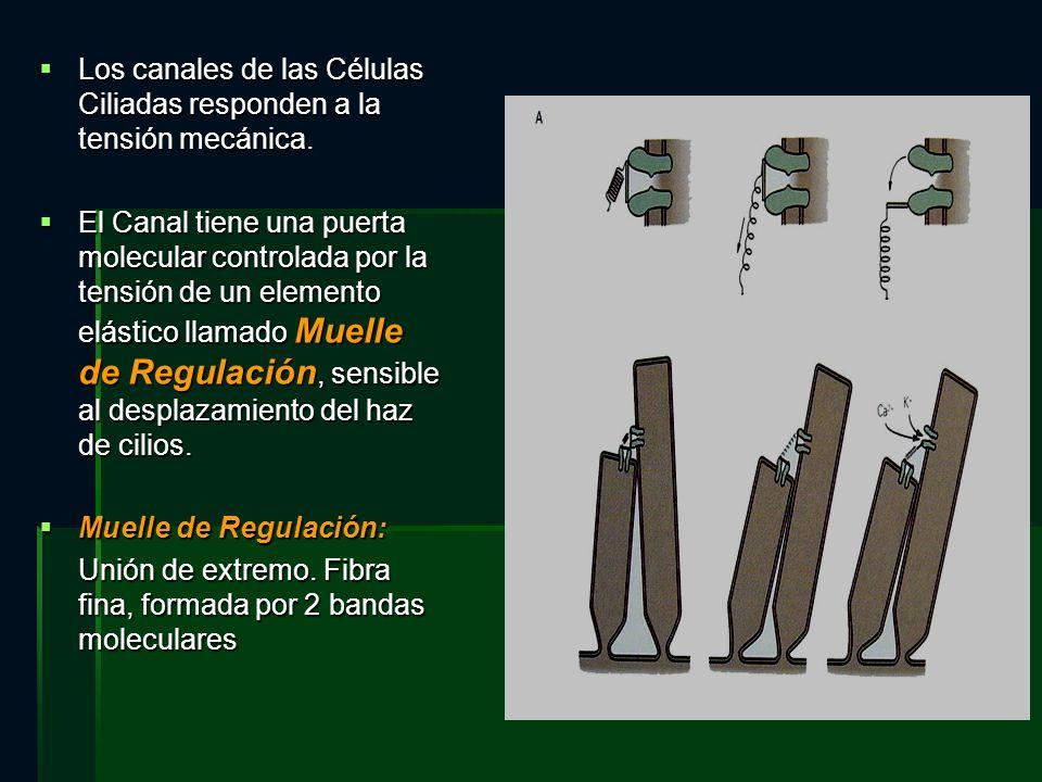Los canales de las Células Ciliadas responden a la tensión mecánica.