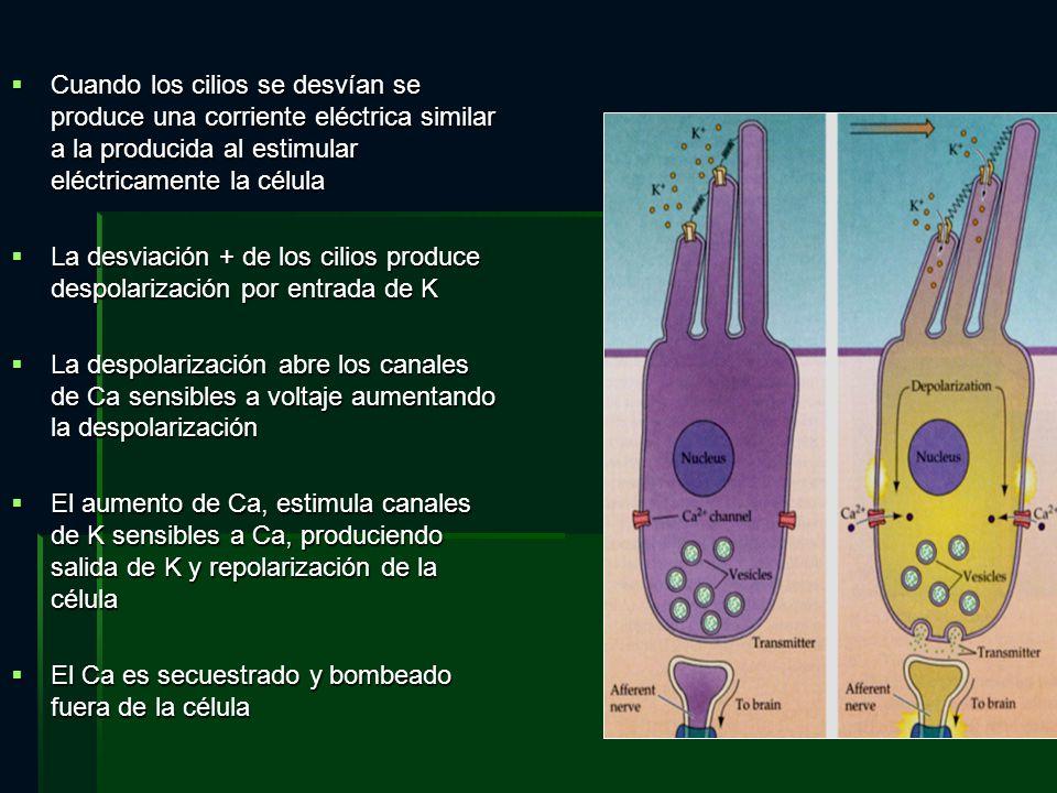 Cuando los cilios se desvían se produce una corriente eléctrica similar a la producida al estimular eléctricamente la célula