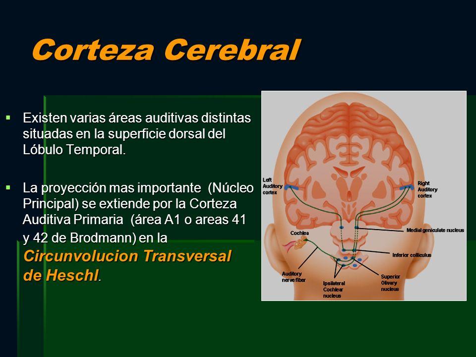 Corteza Cerebral Existen varias áreas auditivas distintas situadas en la superficie dorsal del Lóbulo Temporal.