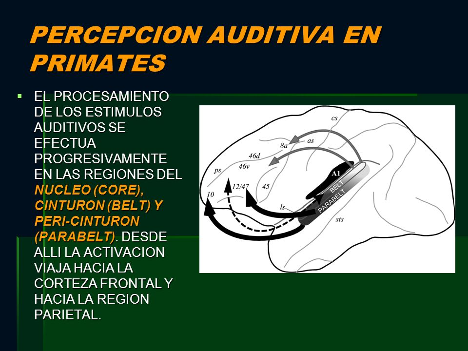 PERCEPCION AUDITIVA EN PRIMATES