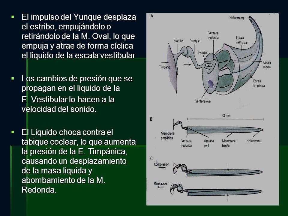 El impulso del Yunque desplaza el estribo, empujándolo o retirándolo de la M. Oval, lo que empuja y atrae de forma cíclica el liquido de la escala vestibular
