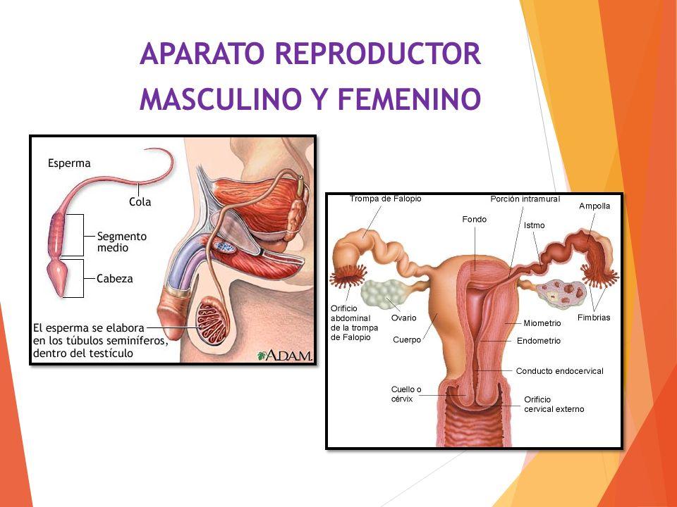 APARATO REPRODUCTOR MASCULINO Y FEMENINO - ppt video online descargar