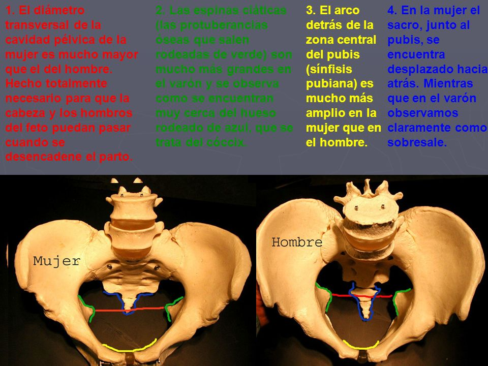 1. El diámetro transversal de la cavidad pélvica de la mujer es mucho mayor que el del hombre. Hecho totalmente necesario para que la cabeza y los hombros del feto puedan pasar cuando se desencadene el parto.