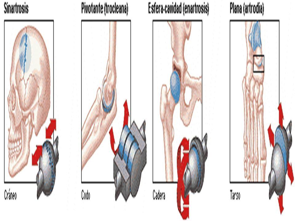 el tronco (hombro, cadera).