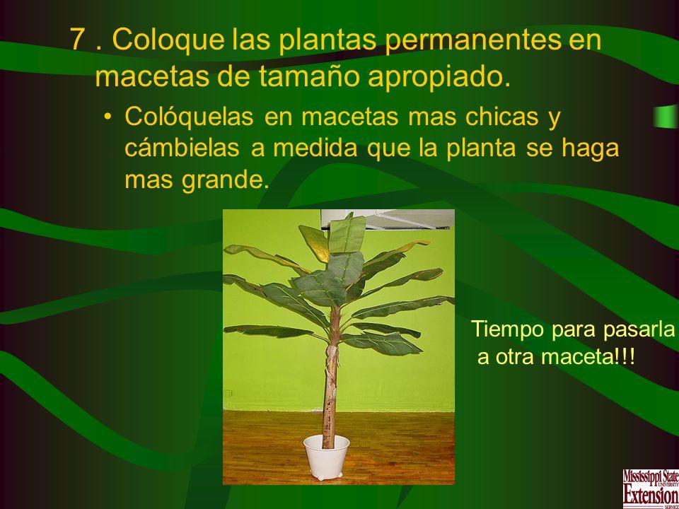 . Coloque las plantas permanentes en macetas de tamaño apropiado.