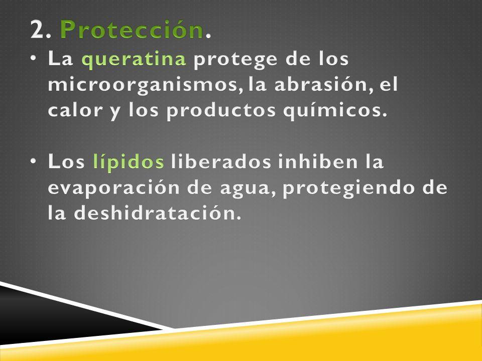 2. Protección. La queratina protege de los microorganismos, la abrasión, el calor y los productos químicos.
