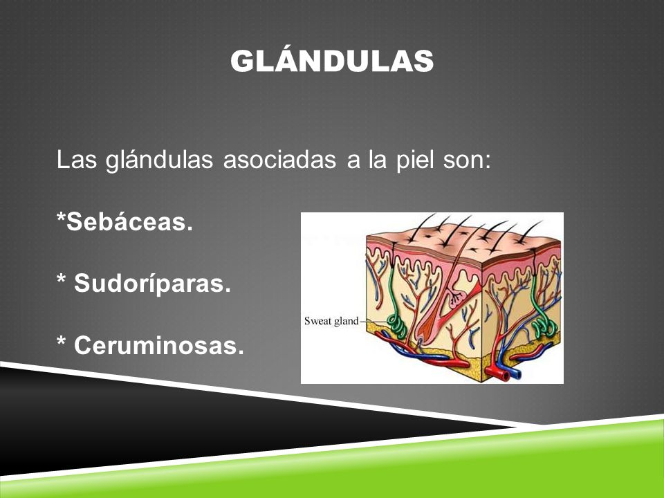 GLÁNDULAS Las glándulas asociadas a la piel son: *Sebáceas.