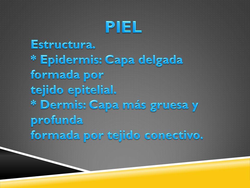 PIEL Estructura. * Epidermis: Capa delgada formada por