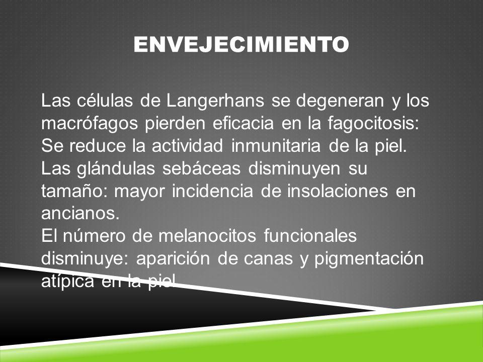 ENVEJECIMIENTO Las células de Langerhans se degeneran y los
