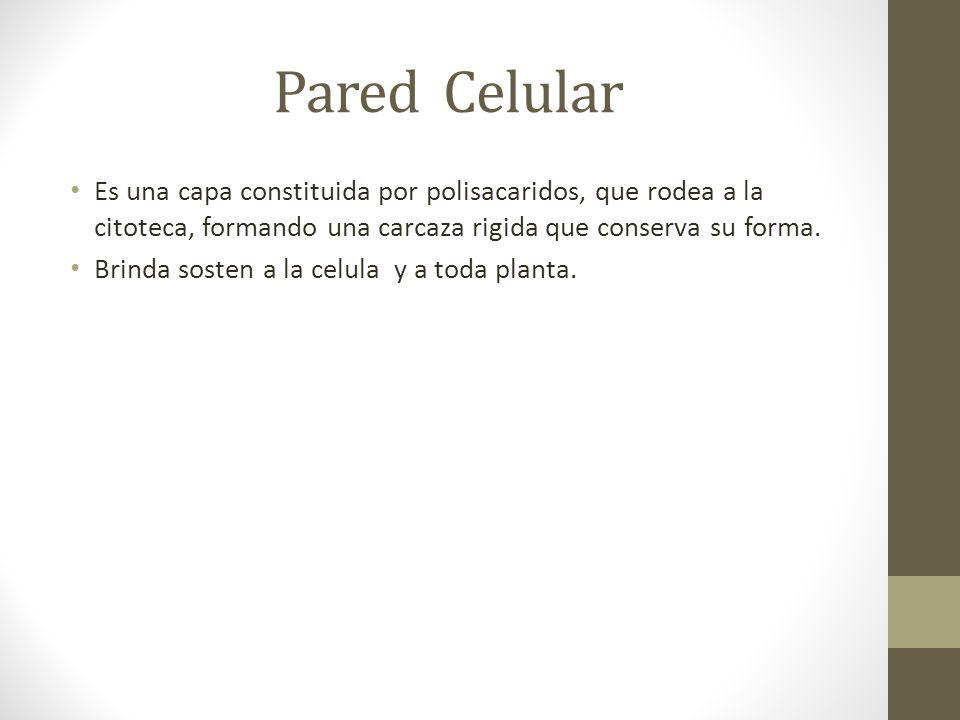 Pared Celular Es una capa constituida por polisacaridos, que rodea a la citoteca, formando una carcaza rigida que conserva su forma.