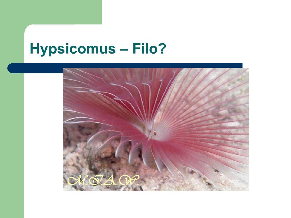 Hypsicomus – Filo