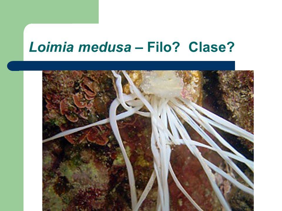 Loimia medusa – Filo Clase