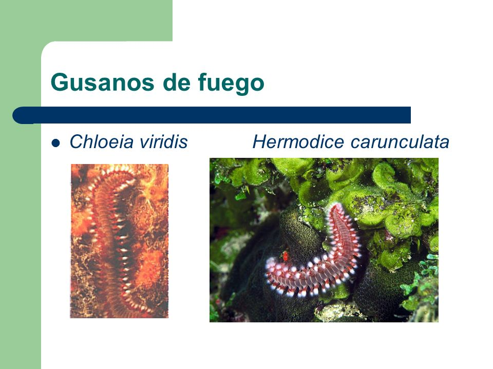Gusanos de fuego Chloeia viridis Hermodice carunculata