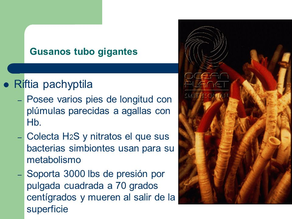 Riftia pachyptila Gusanos tubo gigantes