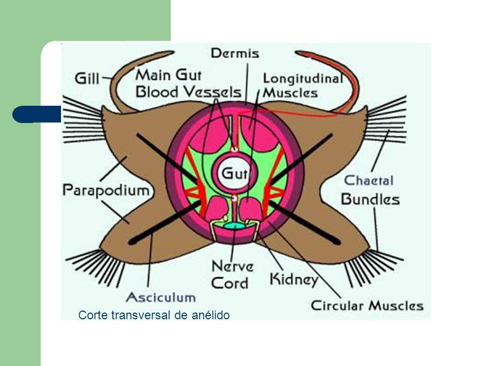 Corte transversal de anélido