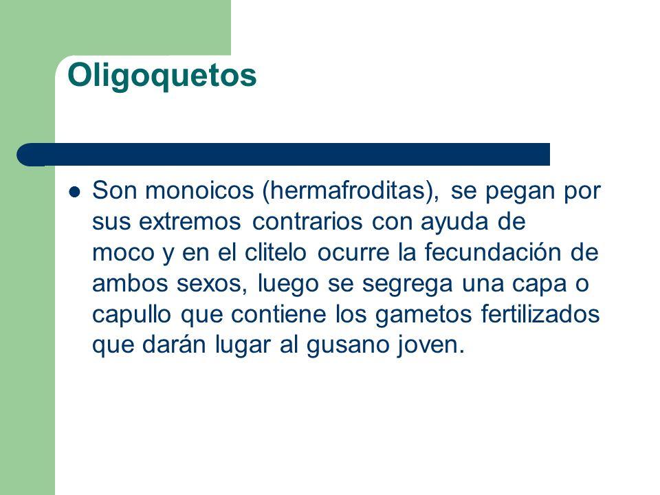 Oligoquetos
