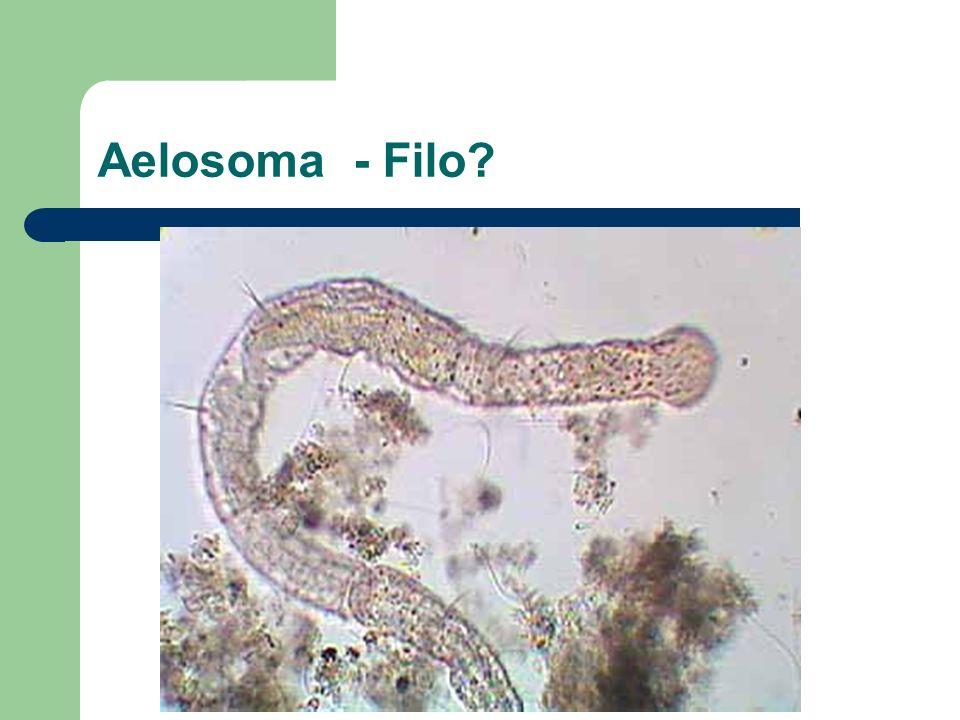 Aelosoma - Filo