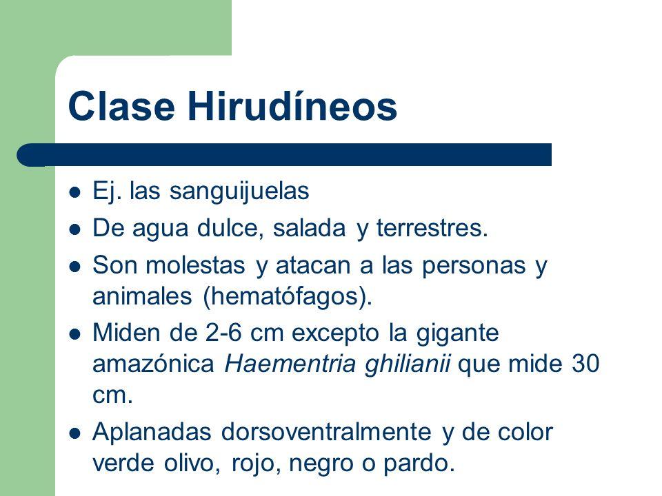 Clase Hirudíneos Ej. las sanguijuelas