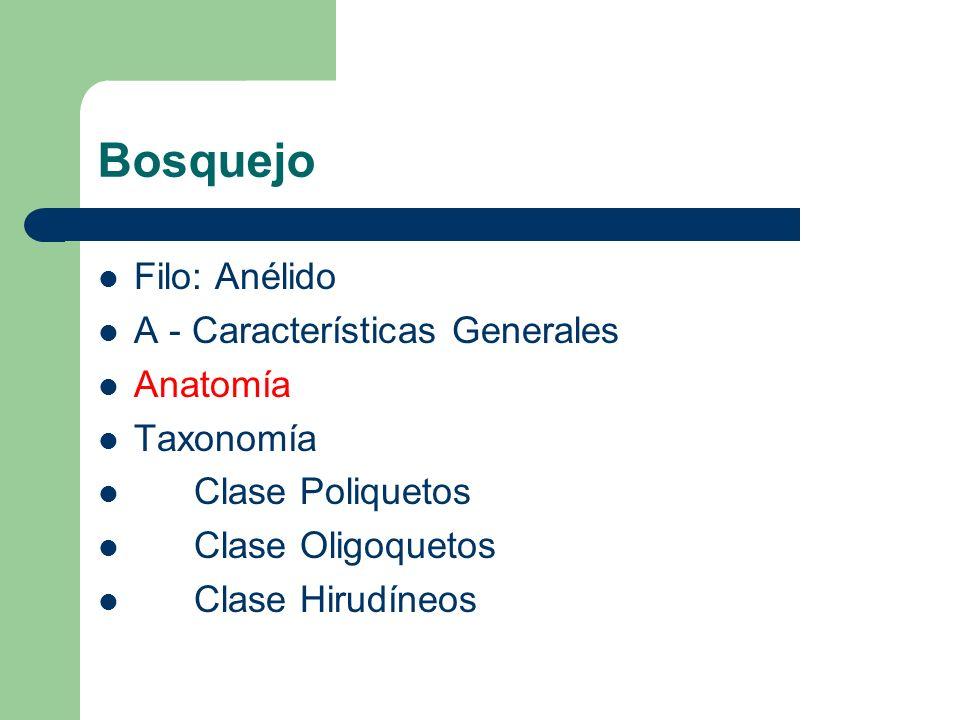 Bosquejo Filo: Anélido A - Características Generales Anatomía