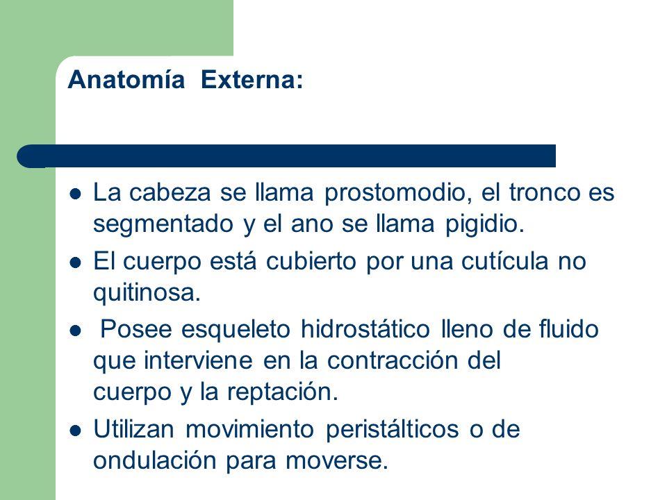 Anatomía Externa: La cabeza se llama prostomodio, el tronco es segmentado y el ano se llama pigidio.