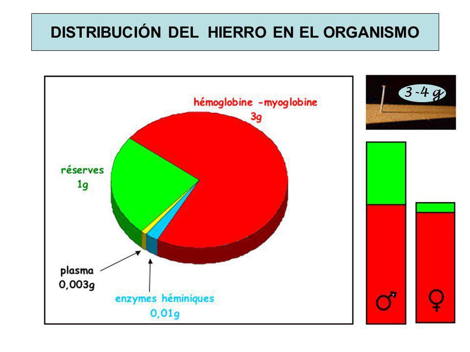 DISTRIBUCIÓN DEL HIERRO EN EL ORGANISMO