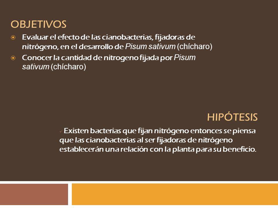 OBJETIVOS Evaluar el efecto de las cianobacterias, fijadoras de nitrógeno, en el desarrollo de Pisum sativum (chícharo)