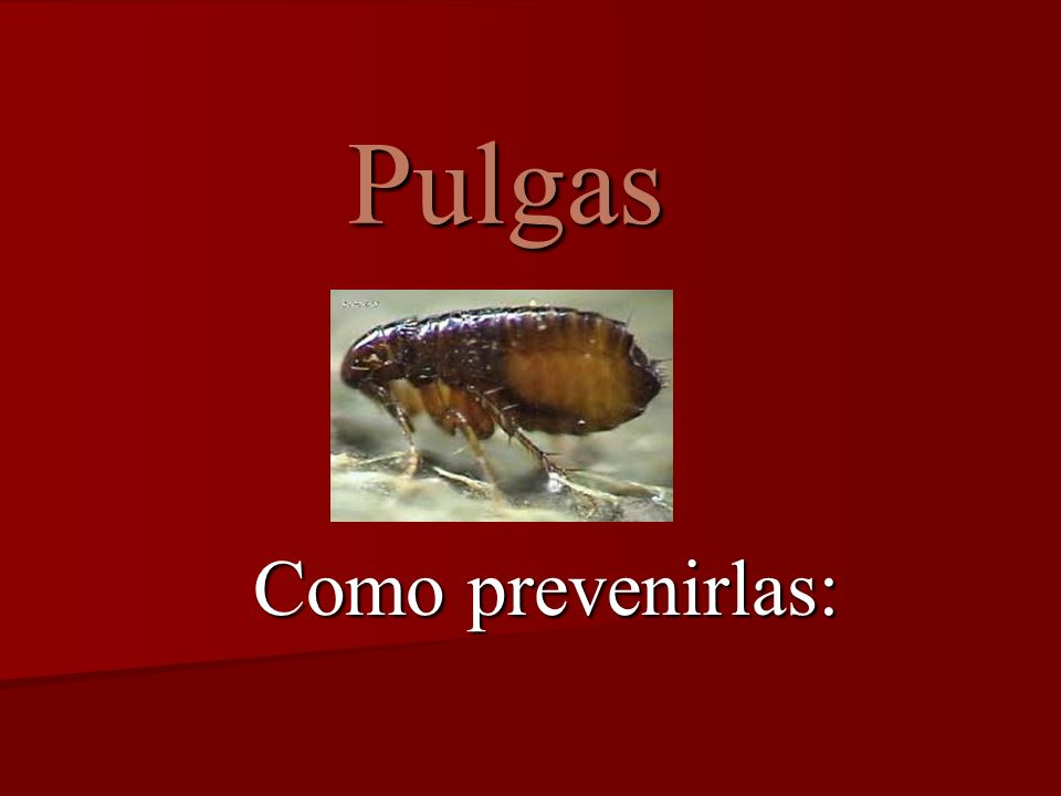 Pulgas Como prevenirlas: