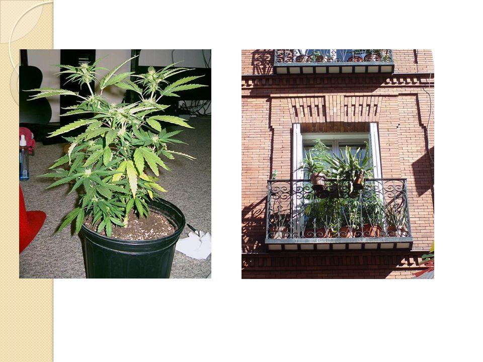 Arbusto anual de la familia de las Cannabaceae