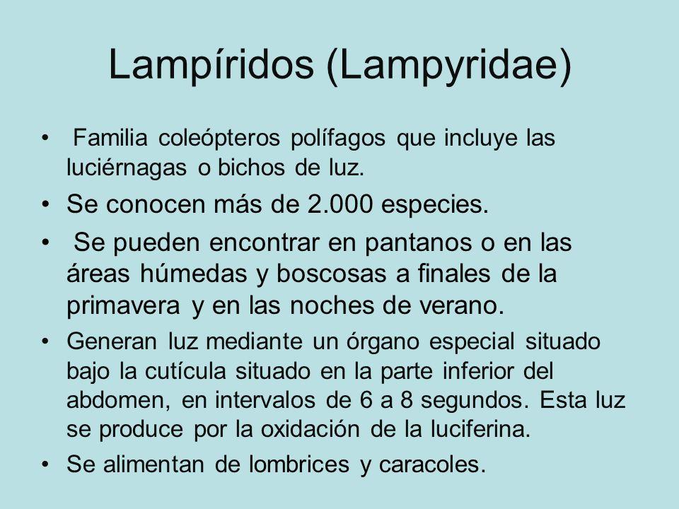 Lampíridos (Lampyridae)