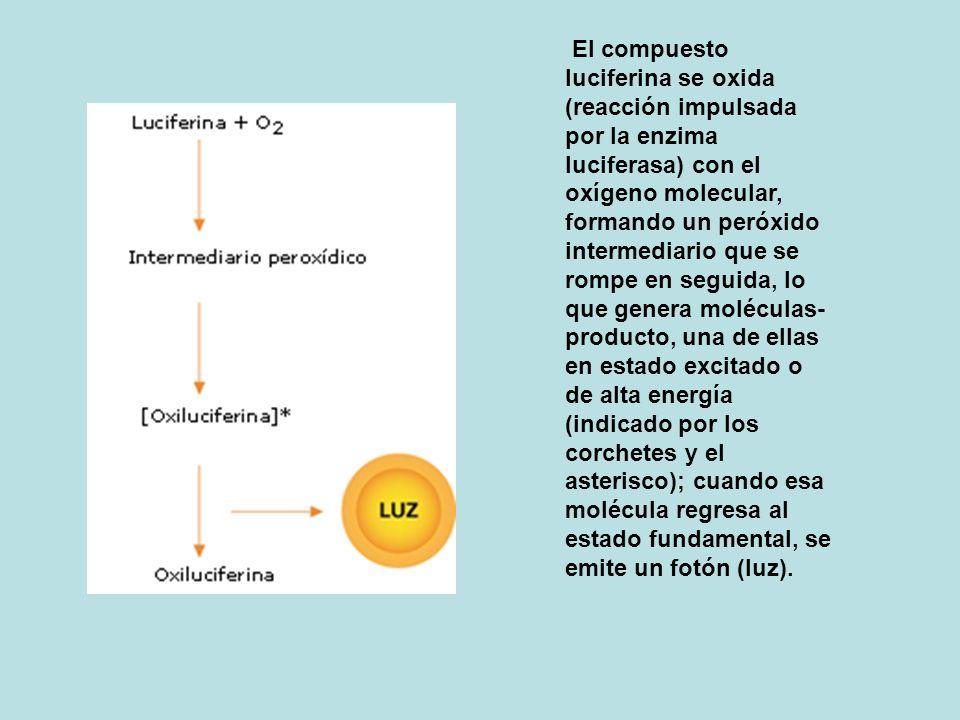 El compuesto luciferina se oxida (reacción impulsada por la enzima luciferasa) con el oxígeno molecular, formando un peróxido intermediario que se rompe en seguida, lo que genera moléculas-producto, una de ellas en estado excitado o de alta energía (indicado por los corchetes y el asterisco); cuando esa molécula regresa al estado fundamental, se emite un fotón (luz).