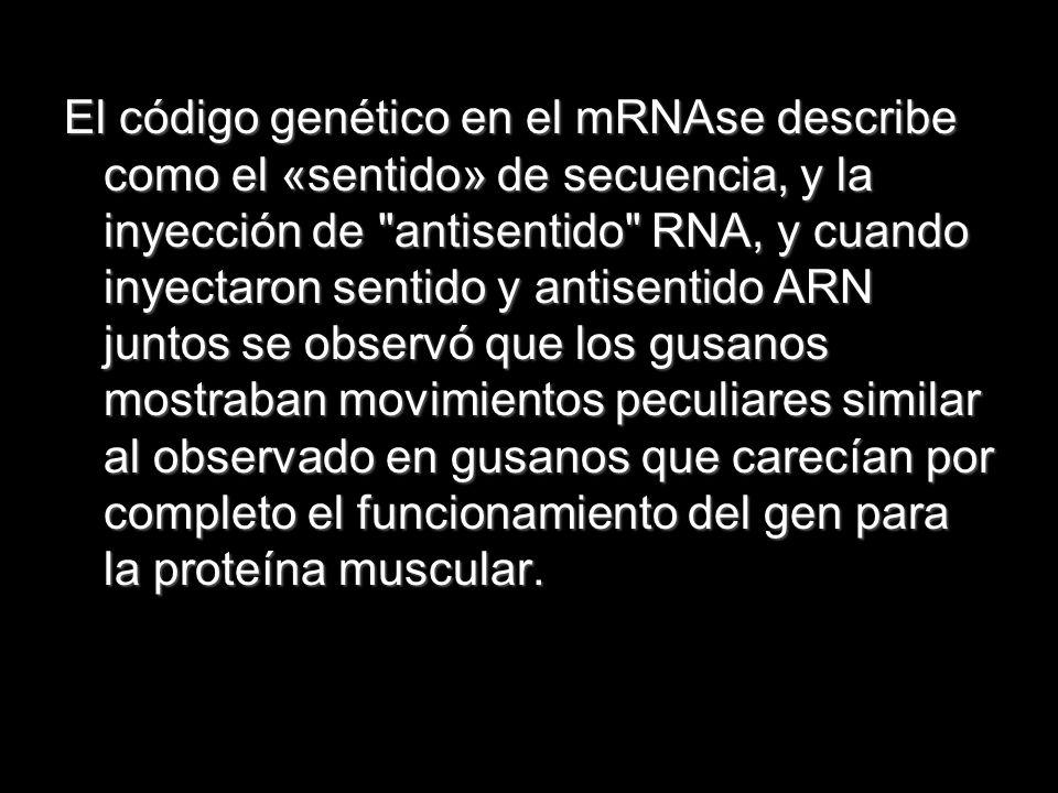El código genético en el mRNAse describe como el «sentido» de secuencia, y la inyección de antisentido RNA, y cuando inyectaron sentido y antisentido ARN juntos se observó que los gusanos mostraban movimientos peculiares similar al observado en gusanos que carecían por completo el funcionamiento del gen para la proteína muscular.