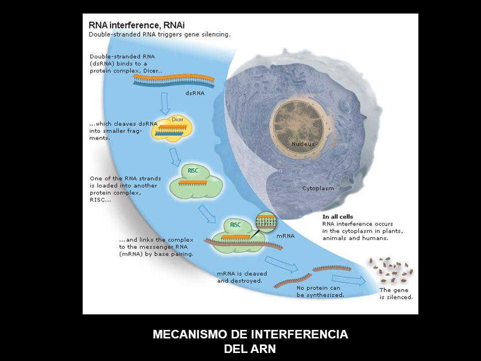 MECANISMO DE INTERFERENCIA DEL ARN
