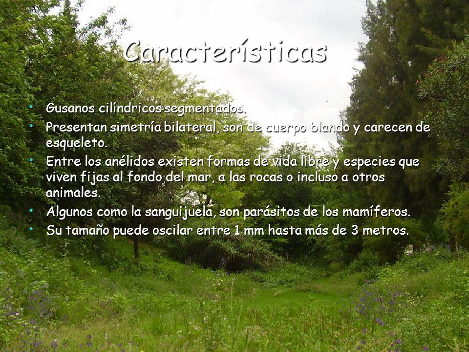 Características Gusanos cilíndricos segmentados.
